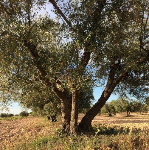 Adoptar un olivo y recibir su aceite de oliva